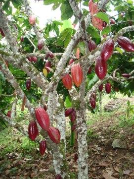 Cacao1 (4)